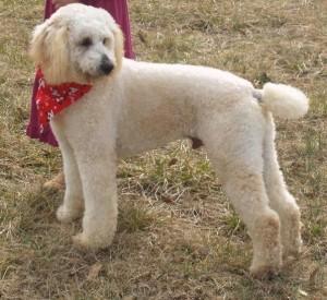 Brody - Moyen Poodle